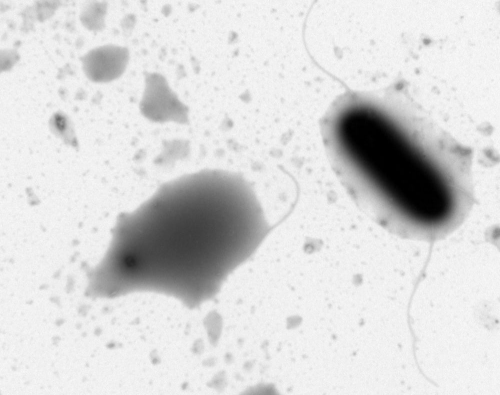 <p>Здесь собраны&nbsp;ТЭМ и СЭМ-микрофотографии биологических объектов, которые совершенно не видны невооруженным глазом: вирусы, бактерии, микроводоросли</p>